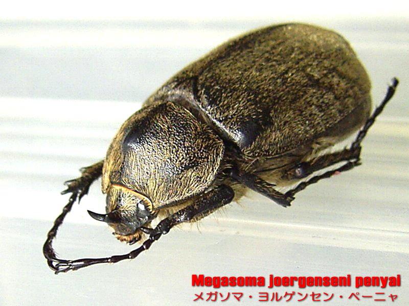 Megasoma joergenseni penyai ���K�\�} �����Q���Z�� �y�[�j��